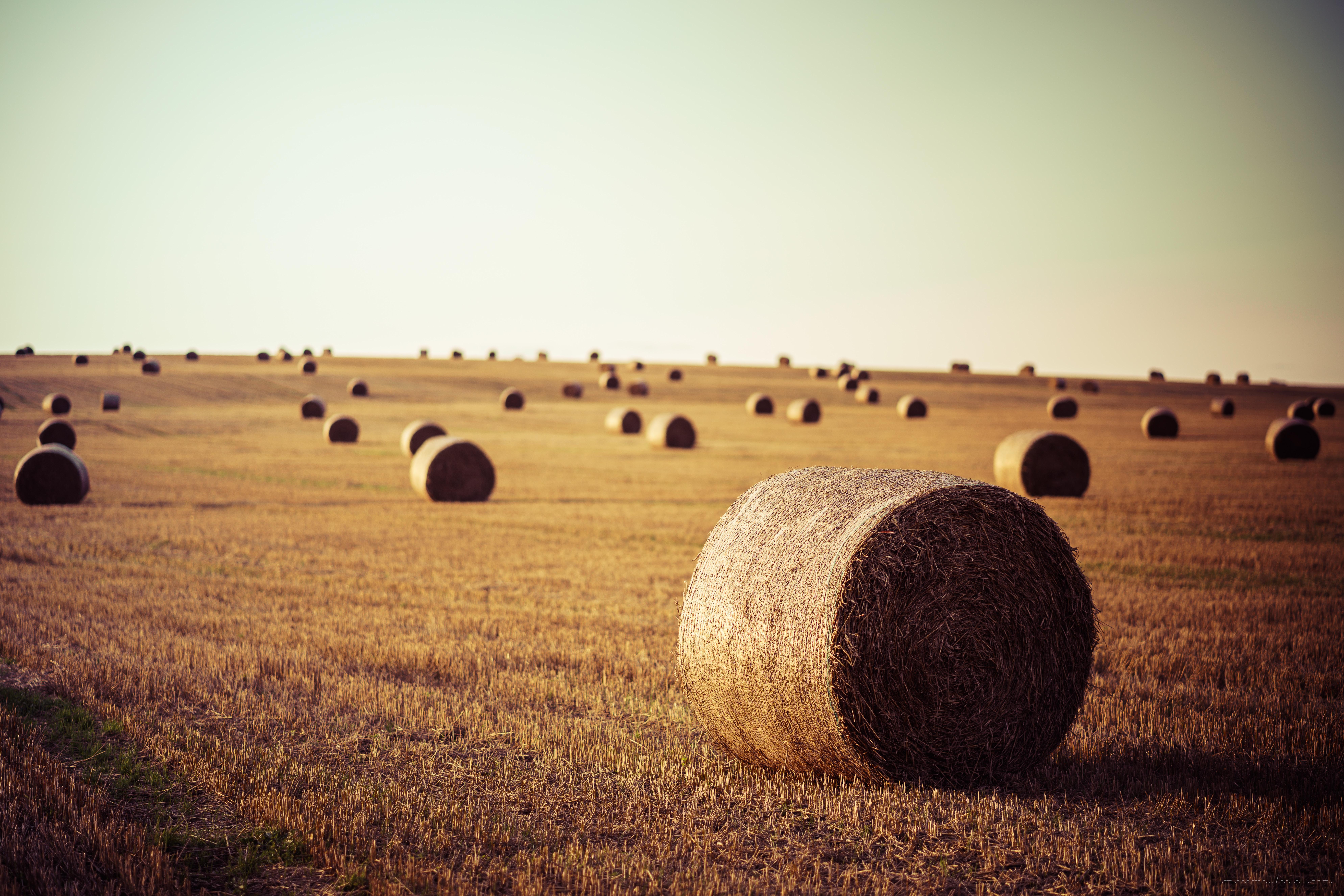 Ein weites abgeerntetes Feld mit großen runden Strohballen in den letzten Sonnenstrahlen