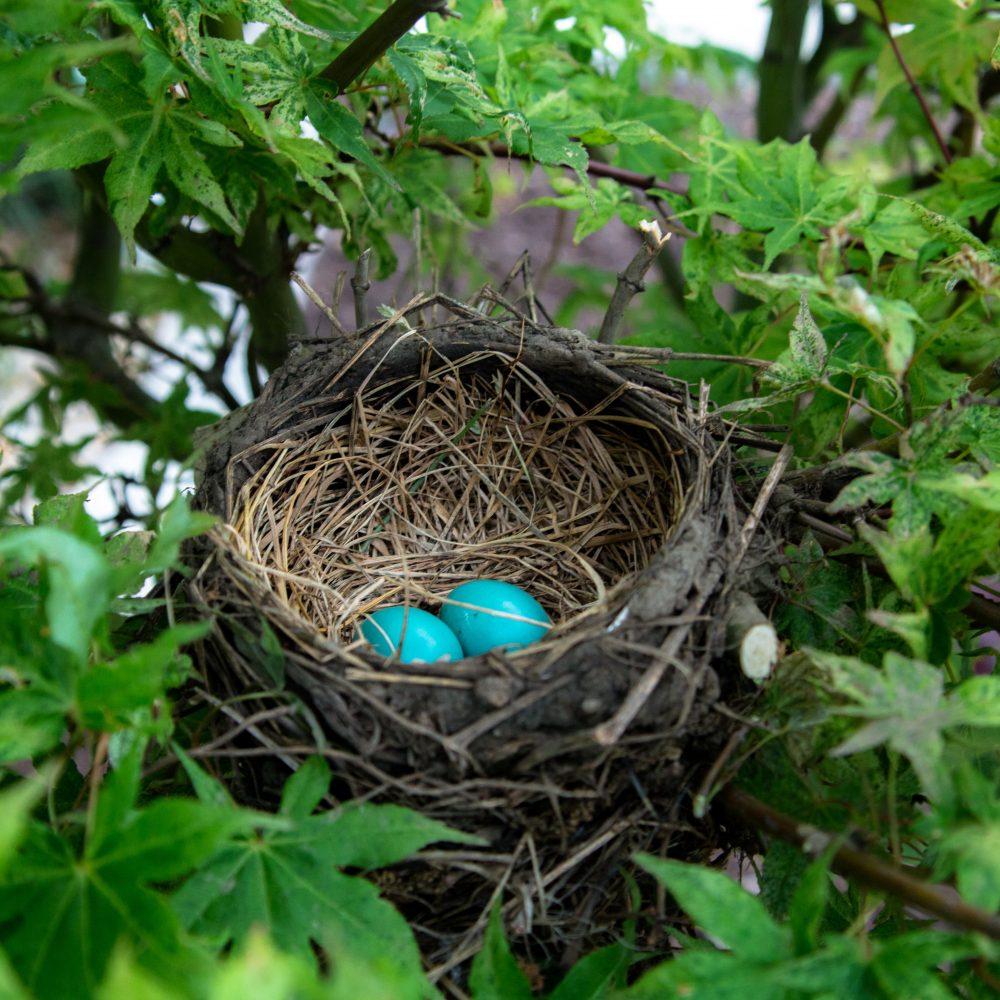 Zwei blaue Vogeleier in einem Nest eingebettet zwischen grün belaubten Ästen
