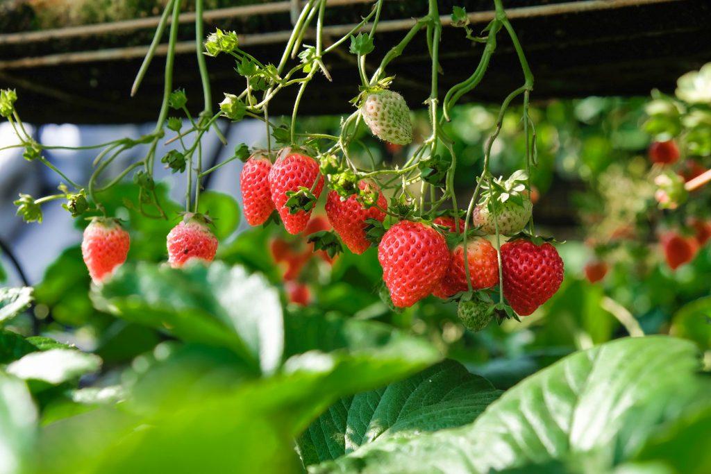 Herunterhängende Erbbeeren, Klettererdbeeren aus dem Garten